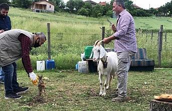 Karaca yavrusu kendisini emziren keçiyi annesi olarak...