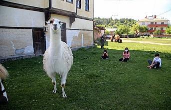 Köyde özgürce yaşayan lama