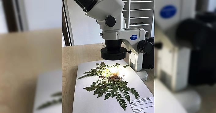 Küre Dağları'nda yeni bir endemik bitki türü...