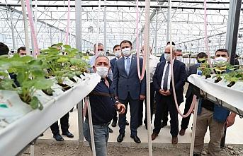 Tokat Valisi Balcı topraksız çilek serasında incelemelerde bulundu