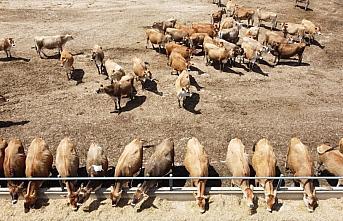 Türkiye'nin hayvancılık üssü: TİGEM