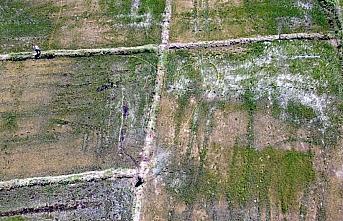 Bafra Ovası'nda çeltik ekim alanı yaklaşık 30...