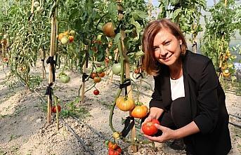 Safranbolu'nun yerli domatesi
