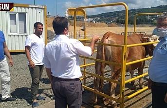 Samsun Büyükşehir Belediyesi'nden hayvan pazarlarına...