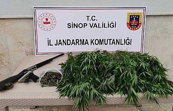 Sinop'ta 31 kök kenevir bitkisi ele geçirildi