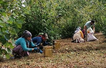 Samsun'da fındık hasadı başladı