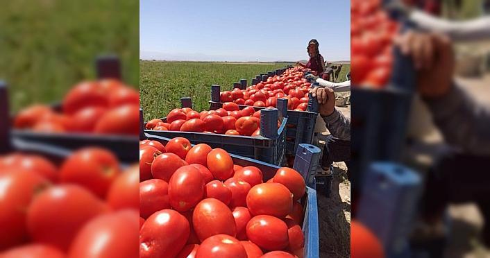 Tarım Kredi 85 bin ton salçalık domates alımına...