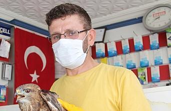 Amasya'da yaralı şahin tedavi altına alındı