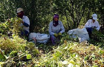 Ata yadigarı tohumlarla üretilen kuru fasulyede imece usulü hasat
