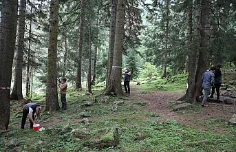 Karadeniz'deki üç ilde ladin ormanlarını 40 bin...
