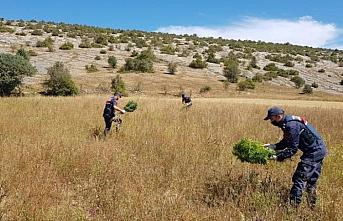 Kastamonu'da 2 bin 200 kök kenevir ele geçirildi