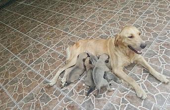 Trabzon'da anneleri ölen 4 köpek yavrusu koruma...