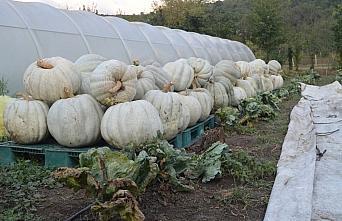 Bartın'da yetiştirilen 50 kilogramlık kabaklar ilgi görüyor