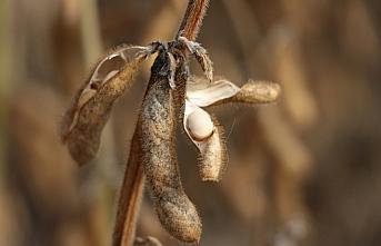 Bolu'da soya fasulyesi hasadı yapıldı