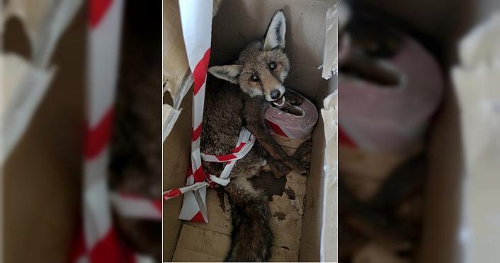 Ormanlık alanda bulunan yaralı tilki tedavi altına alındı