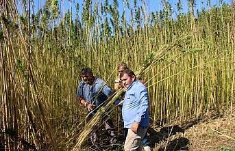 Taşköprü'de 17 yıl sonra ekilen kenevirin hasadı başladı