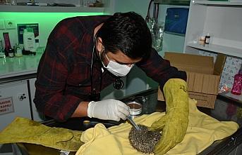 Bartın'da bitkin halde bulunan yavru kirpi tedaviye alındı