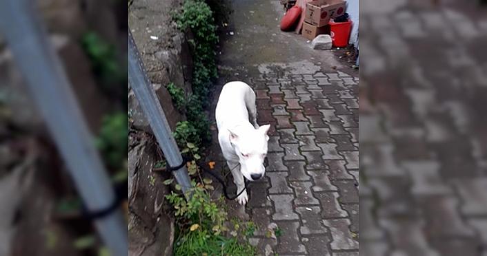 Zonguldak'ta aranan hükümlünün, yasaklı ırk köpek beslediği belirlendi