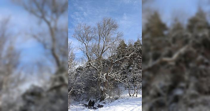 Bolu'da 250 yıllık çınar ağacı yıllara meydan okuyor