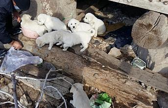 Çorum'da sosyal medyadan yapılan çağrıyla 7 köpek yavrusu korumaya alındı