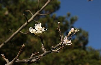 Kastamonu'da meyve ağaçları kış ayında çiçek...