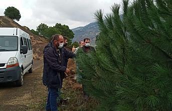 Trabzon'da çam fıstığı yetiştiriciliği yeni...