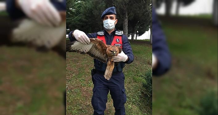 Zonguldak'ta yaralı bulunan şahin tedavi altına alındı