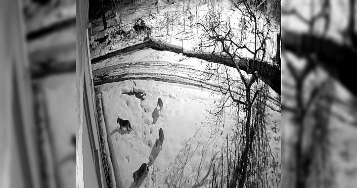 Giresun'da kar yağışı nedeniyle aç kalan kurtlar...