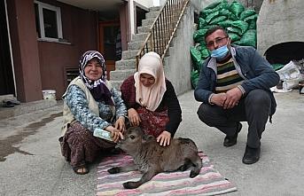 Sinop'ta 10 kilogram doğan cüce buzağıya evde...