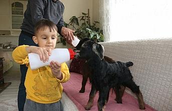Anneleri ölen iki oğlağı evde biberonla besliyorlar