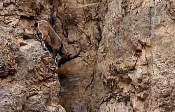 Gümüşhane'de yaban keçilerinin tırmanma hünerleri...