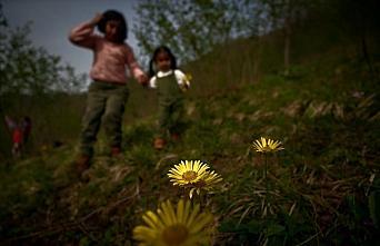 Batı Karadeniz yaylaları baharın müjdecisi çiçeklerle...