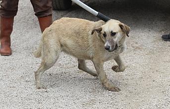 Bolu'da Anadolu Otoyolu kenarında bulunan 20 köpek barınağa götürüldü