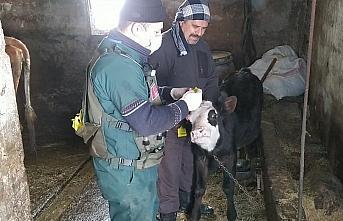 Gölköy'de veteriner hekimler hayvanlara şifa dağıtıyor