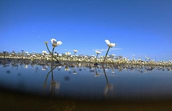 Kızılırmak Deltası'nda suda açan çiçekler tanıtım...