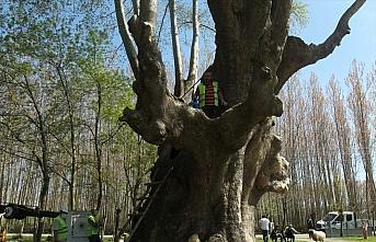 Samsun'da 1100 yıllık çınar ağacı bakıma alındı