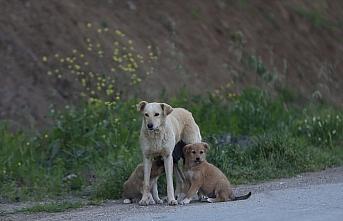 Anne köpek aracın çarpması sonucu telef olan yavrusunun...