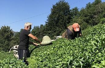 Doğu Karadeniz'de birinci sürgün yaş çay hasadı...
