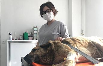 Düzce'de otomobilin çarptığı yaralı köpek sedyeyle kliniğe götürüldü