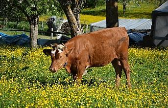İnebolu'da tarlalarla açan sarı çiçekler görsel...