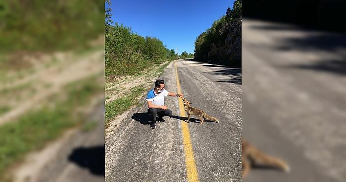 Kastamonu'da yolda gördükleri tilkiyi elleriyle beslediler