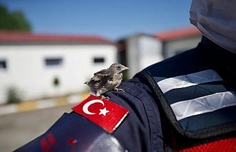Saka kuşu yavruları kendilerine yuva yapan jandarmanın maskotu oldu