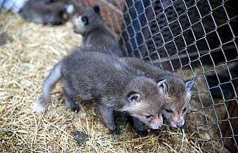 Tokat'ta koruma altında bulunan tilki yavrularına biberonla süt veriliyor