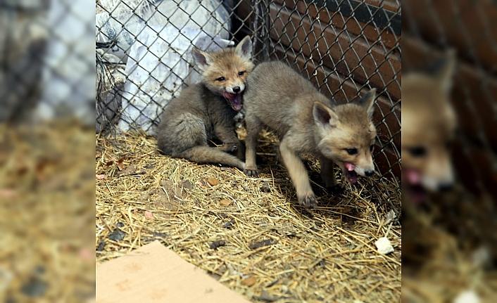 Tokat'ta koruma altındaki 4 tilki yavrusuna bebek gibi bakıyorlar