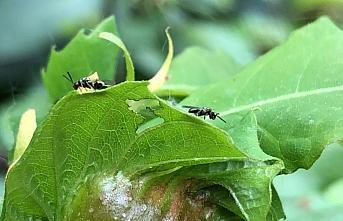 Zonguldak'ta gal arısına karşı mücadele edecek böcekler doğaya bırakıldı