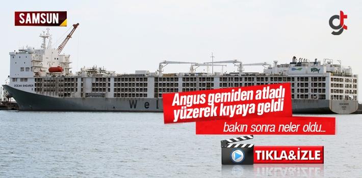 Samsun'da Angus Gemiden Atladı Yüzerek Kıyıya...