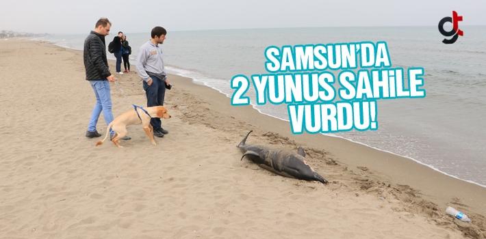 Samsun'da Ölü 2 Yunus Sahile Vurdu!